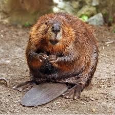 Beavers Return?