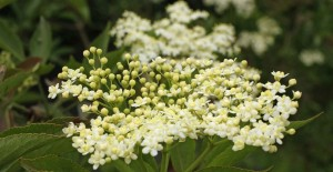 ElderFlower1a