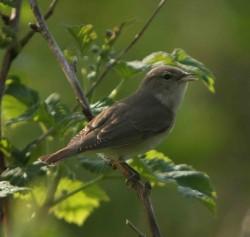 Garden Warbler