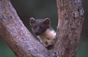 Pine Marten cpt Neil Mcintyre spd Scots WT Must Seek permission