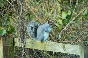 Squirrel(GCT)