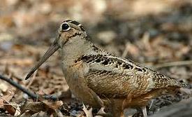 Woodcock1